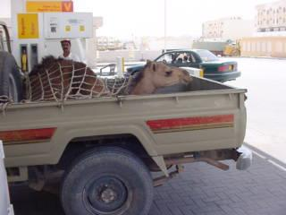 Camel Hitch-hiking